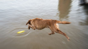 Dog golden jump down to play in the water. Royalty Free Stock Image