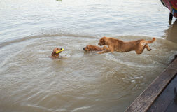 Dog golden jump down to play in the water. Stock Images