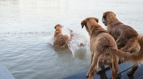Dog golden jump down to play in the water. Royalty Free Stock Photography