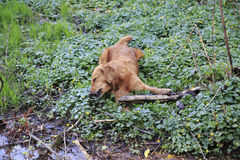 Dog Golden Redriever dead, dead, poisoned. On a meadow with botterblousom Stock Photography