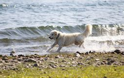 Dog, Golden Redriever jumps in the water, on the shore of the lake, around and enjoys the water drops, splashes