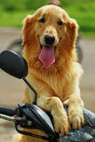 Dog golden retrievel Stock Images
