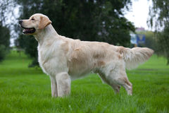 Dog golden retriever Stock Photos