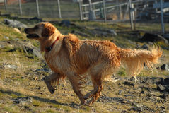 Dog - Golden Retriever Royalty Free Stock Image