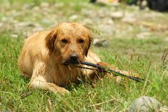 Dog-Golden Retriever Royalty Free Stock Photo