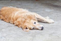 Dog, Golden Retriever Stock Photo