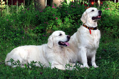 Dog golden retriever. Golden retriever Royalty Free Stock Photography