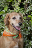 Dog golden retriever Royalty Free Stock Image