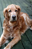 Dog golden retriever. Dog (golden retriever) lying stock images