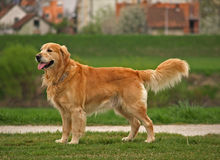 Dog / Golden Retriever Stock Photography