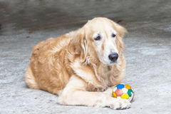 Free Dog, Golden Retriever And Ball Stock Photos - 20821973