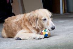 Dog, Golden Retriever and ball Stock Photography