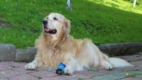 Dog, Golden Retriever, Dog Like Mammal, Dog Breed stock photo