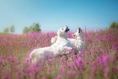 Dog Golden Retriever in flowers Stock Image