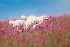 Dog Golden Retriever in flowers Royalty Free Stock Images