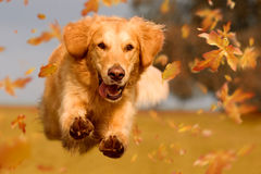Dog, golden retriever jumping through autumn leaves. In autumnal sunlight