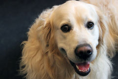 Dog Golden retriever /labrador dog Stock Photo