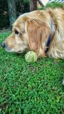 Dog golden retriever love stock images