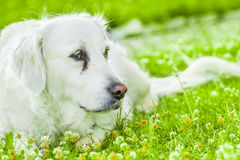 Dog. Golden retriever lying down on green grass during hot sunny day Royalty Free Stock Image