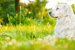 Dog. Golden retriever lying down on green grass during hot sunny day Stock Photography