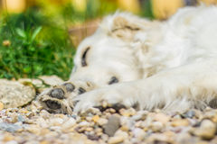 Dog. Golden retriever lying down on green grass during hot sunny day Royalty Free Stock Photography