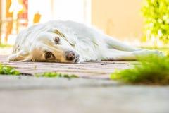 Dog. Golden retriever lying down on green grass during hot sunny day Stock Photos