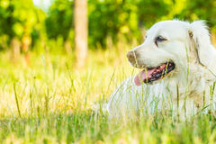 Dog. Golden retriever lying down on green grass during hot sunny day Stock Images