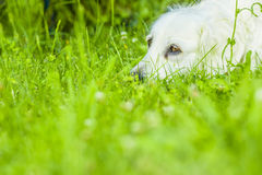 Dog. Golden retriever lying down on green grass during hot sunny day Royalty Free Stock Images