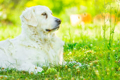 Dog. Golden retriever lying down on green grass during hot sunny day Stock Photo