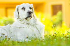 Dog. Golden retriever lying down on green grass during hot sunny day Stock Image