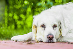 Dog. Golden retriever lying down on green grass during hot sunny day Royalty Free Stock Photo