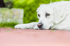 Dog. Golden retriever lying down on green grass during hot sunny day Royalty Free Stock Photos