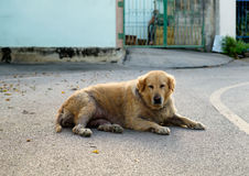 Dog golden retriever mangy scabby lying lonely Royalty Free Stock Photography