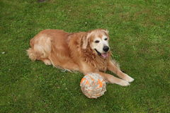 Dog golden retriever and nibbled ball. Dog golden retriever lying on the lawn and nibbled ball Stock Images