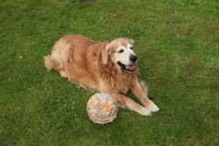 Dog golden retriever and nibbled ball Royalty Free Stock Images