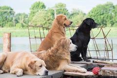Dog Golden Retriever owner waited hopefully. Royalty Free Stock Photos