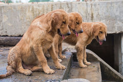 Dog Golden Retriever owner waited hopefully. The golden dog owners Street reef wait with hope Royalty Free Stock Images