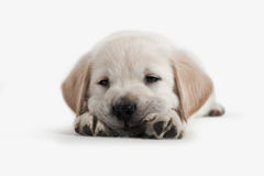 Dog - Golden Retriever Puppy Royalty Free Stock Photos