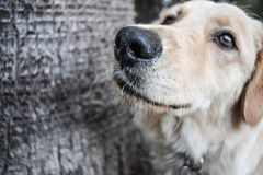 Dog golden retriever watching Stock Images