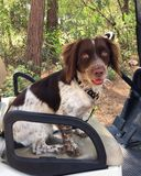 Dog in Golf cart. Dog is driver of Golf cart Royalty Free Stock Photos