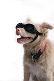 Dog with googles Stock Photos