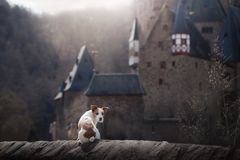 Dog at the gothic castle. A small terrier in a mystical place. Travel with pet Royalty Free Stock Image