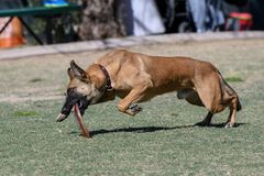 Dog grabbing a disc off the lawn. After it landed at the park royalty free stock photography