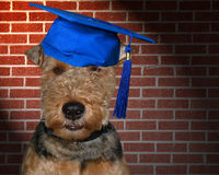Dog Graduate Royalty Free Stock Images