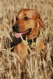Dog in the grain field. Rhodesian ridgeback in the grain field Stock Image