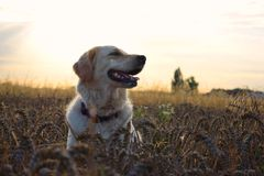 Dog in the grain. Golden retriever in the grain Stock Image