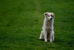 Dog on grass. White romanian mioritic dog on the green grass Stock Photography