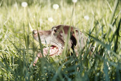 Dog in the grass Stock Image