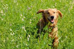 Dog in grass Royalty Free Stock Photography