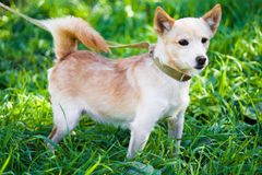 The dog on a grass. Little dog staying on grass looking to the side stock photography